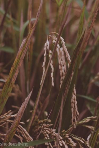 Rice, Bali